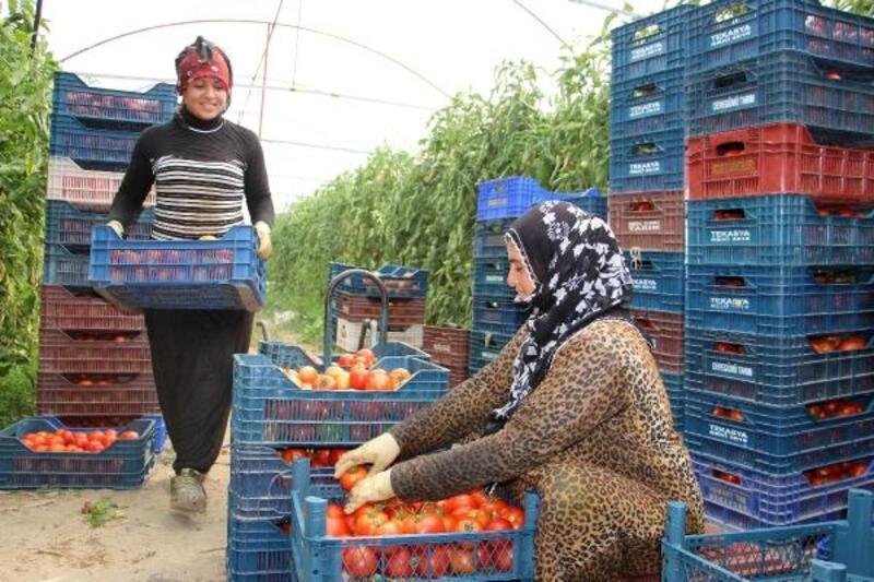 Isparta'dan domates ve kesme çiçek ihracatı