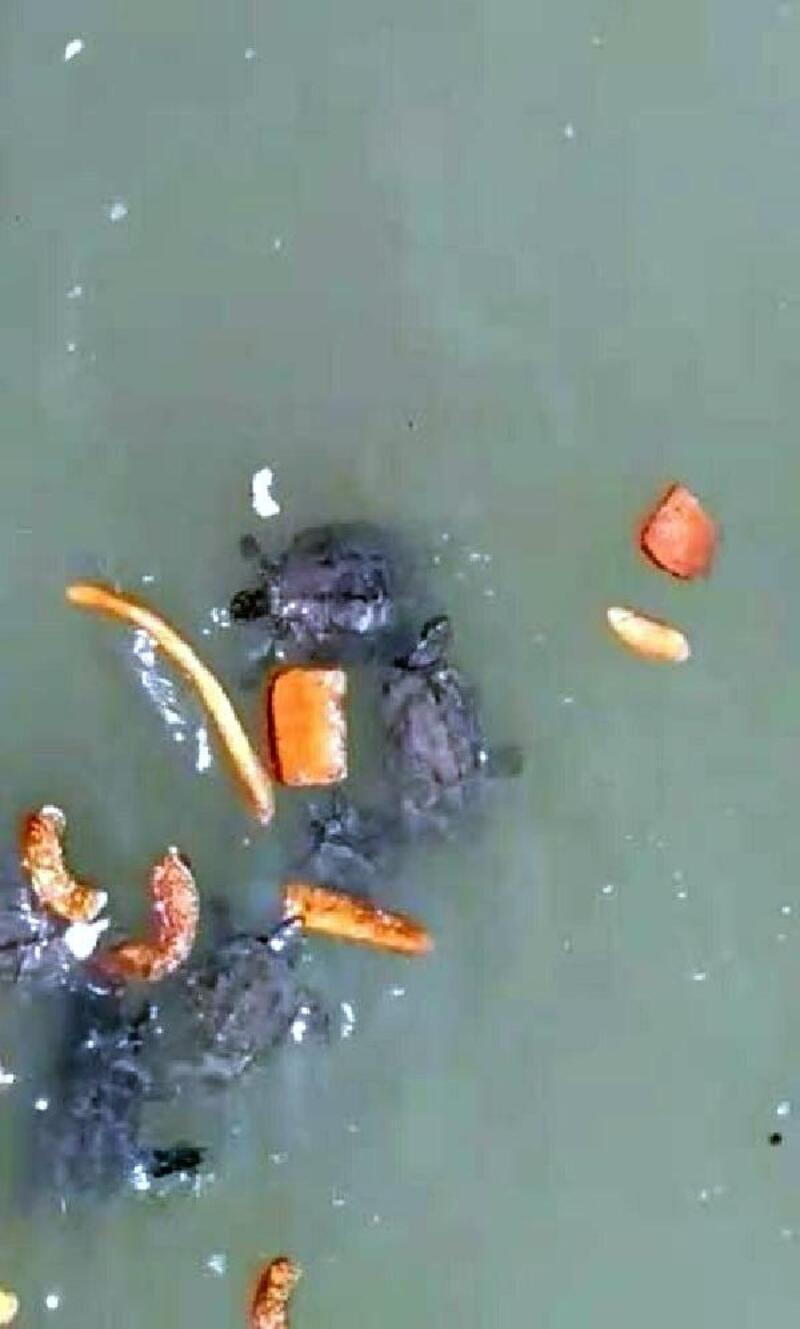 Kaplumbağalar kurumasın diye her gün 50 kilometre yol gidiyor
