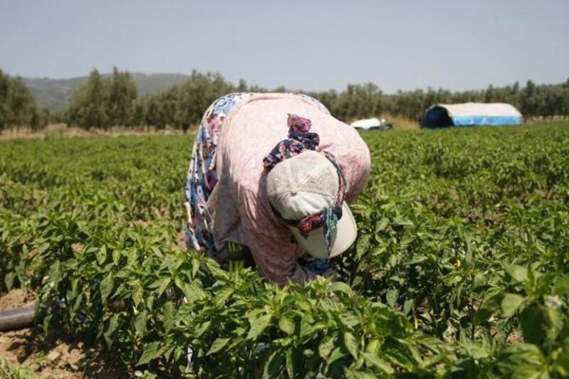 Gedelek turşusunun biberleri Orhangazi'de yetişiyor