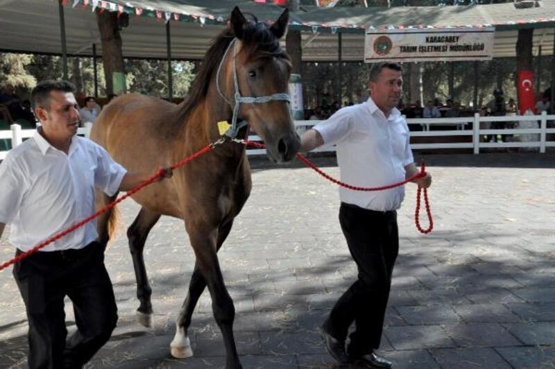 Safkan Arap taylarından 3.5 milyon TL gelir elde edildi