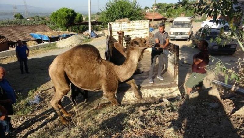 Aydın'da kurbanlık develere büyük ilgi