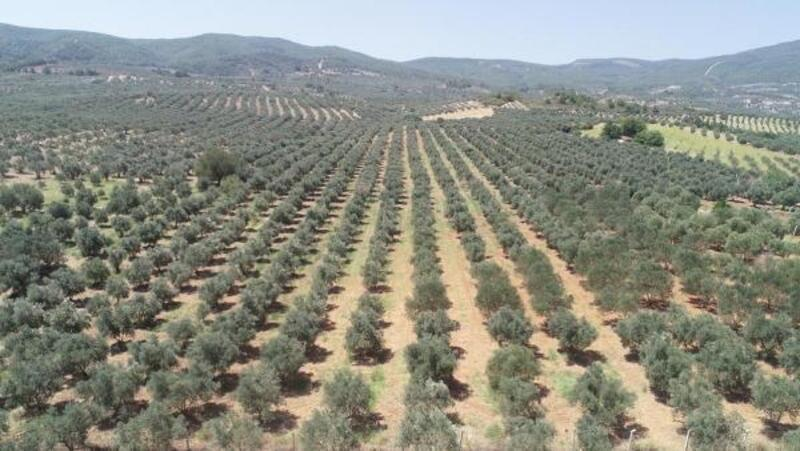 Saruhanlılı zeytin üreticisinin 'düşük rekolte' sıkıntısı