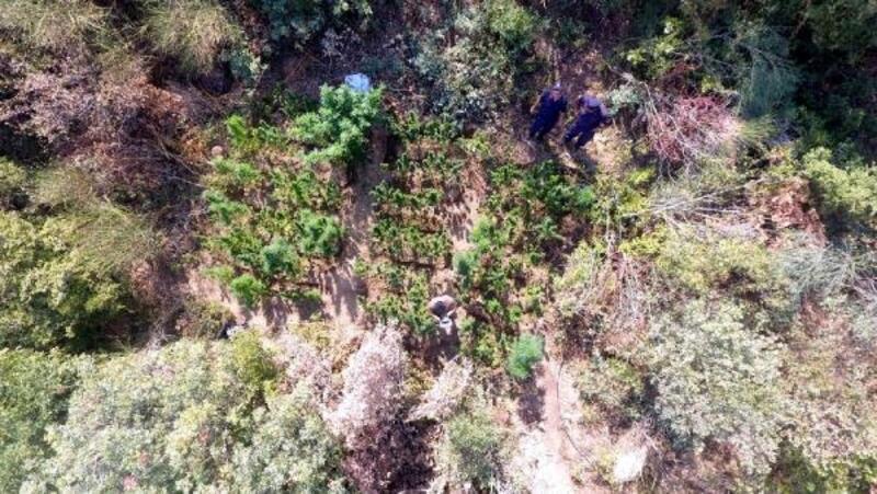 Ormanlık alanda Hint kenevirleri yetiştirmişler