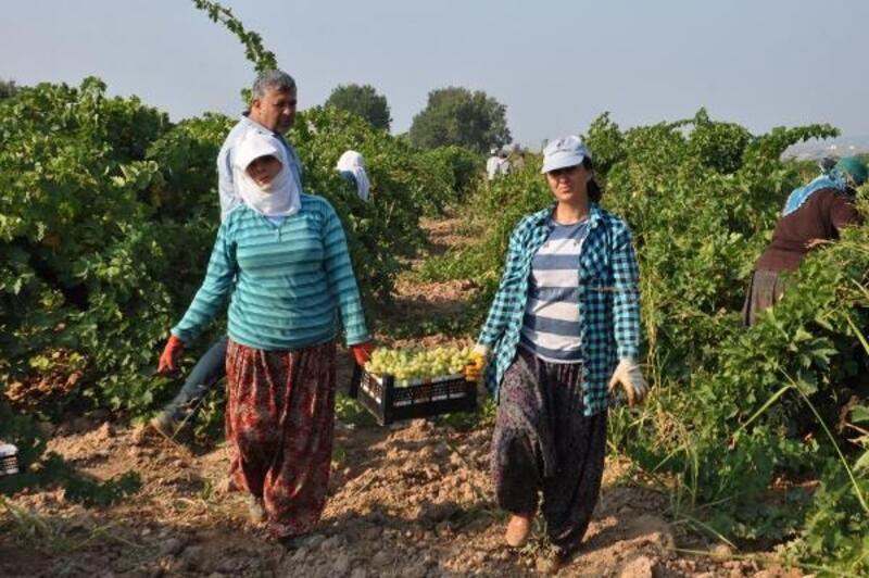 Gaziantep'te sofralık üzüm hasadı başladı