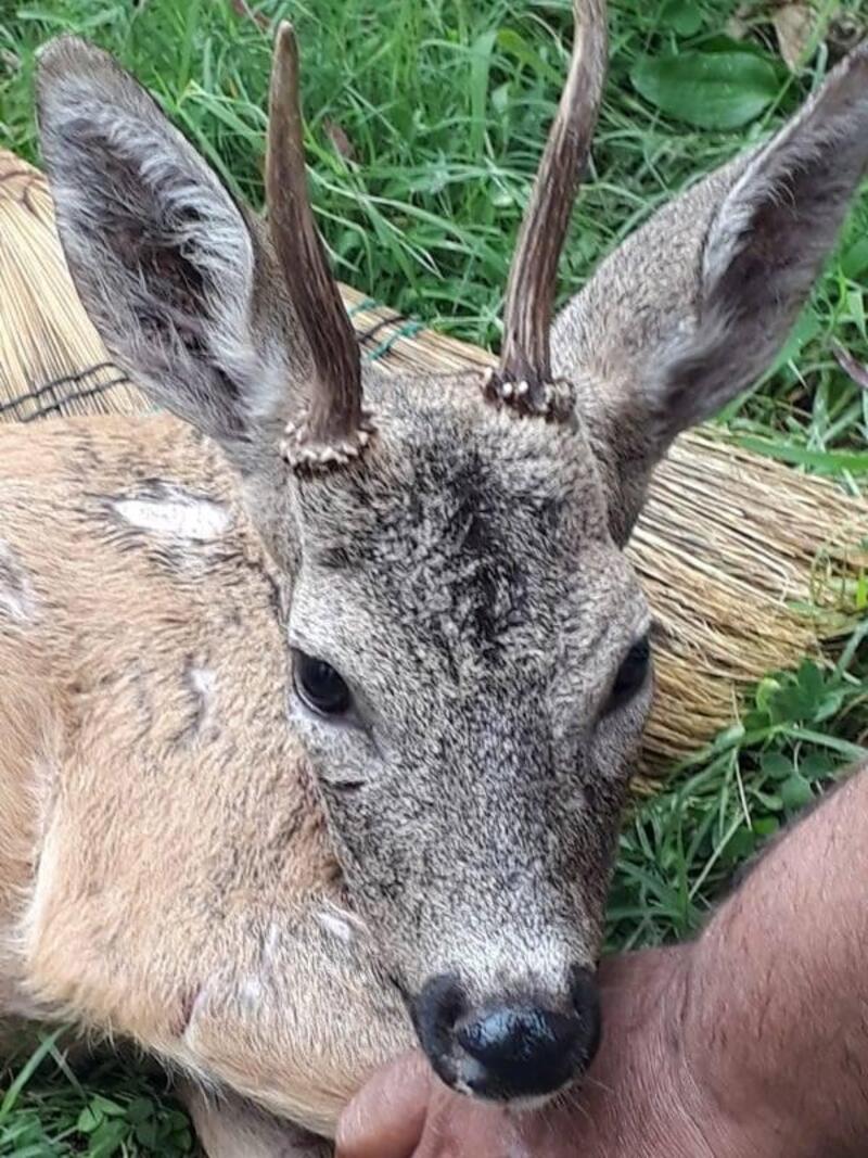 Yırtıcı hayvandan kaçan geyik yaylacılara sığındı