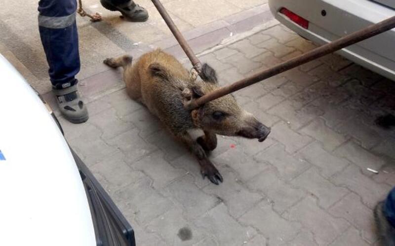 Lokanta çalışanının getirdiği yaban domuzu, apartmanda yaralı bulundu