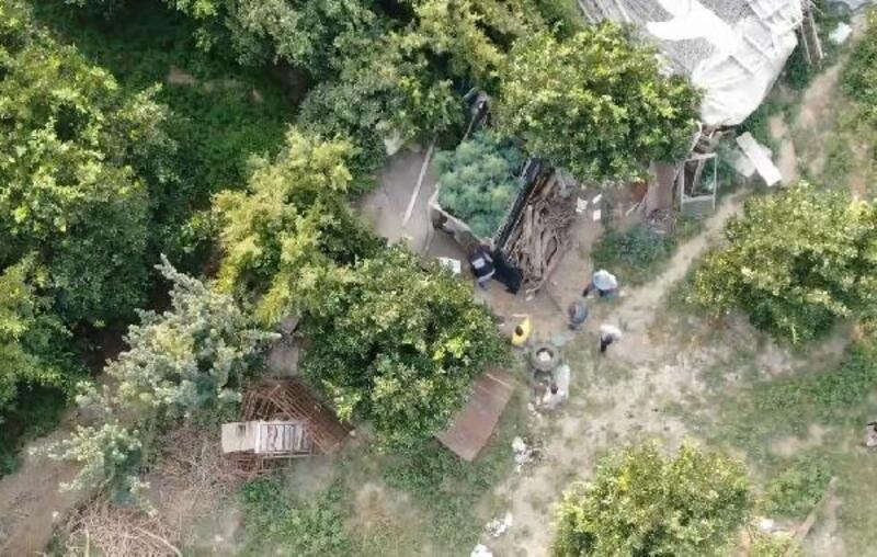 Meyve bahçesine ekilen Hint keneviri 'drone' ile tespit edildi