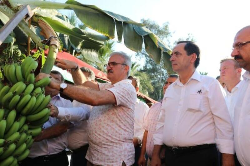 Gazipaşa'da Tropikal Meyve Hasat Şenliği