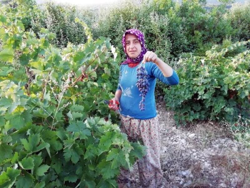 Yazır üzümü hasadı başladı
