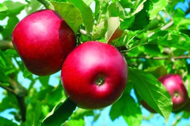 Niğde'de 454 bin ton elma rekoltesi bekleniyor