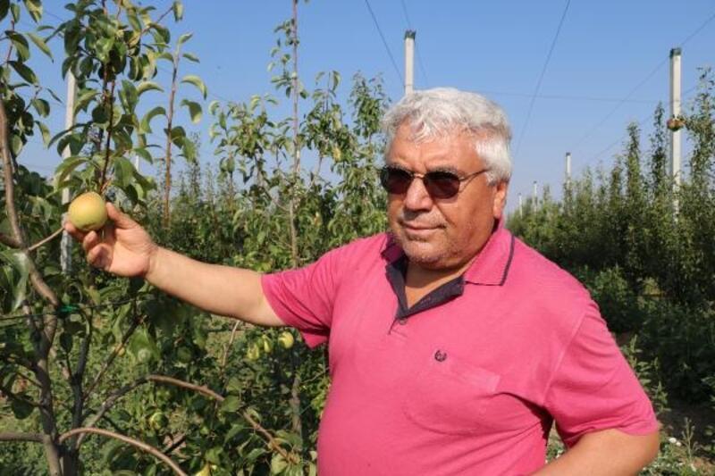 Çocukluk hayali armut bahçesinde ilk hasadını yaptı