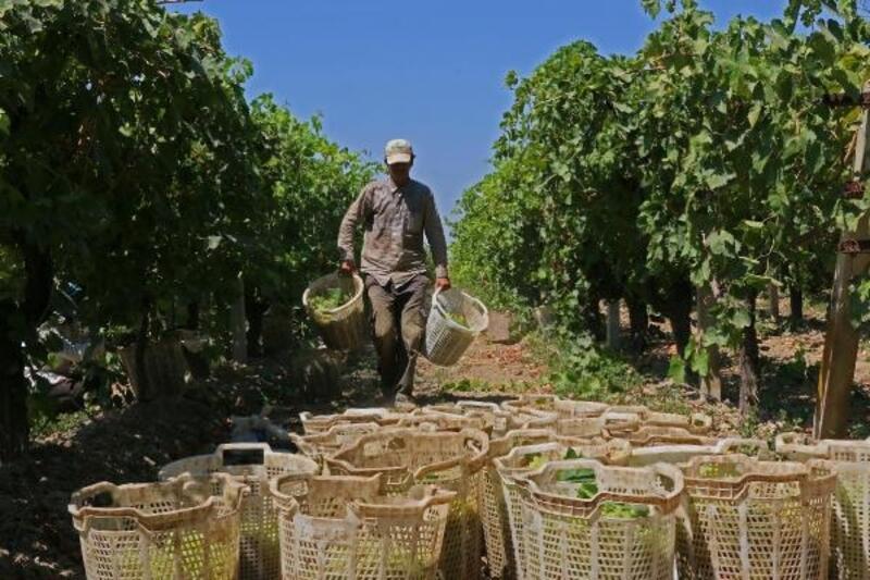 Tarım işçileri üzüm bağlarında 40 derece sıcakla mücadele ediyor