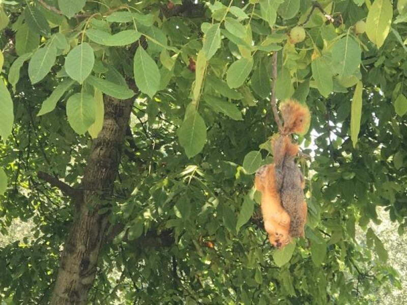 Sincapları öldürülüp, ağaca astılar