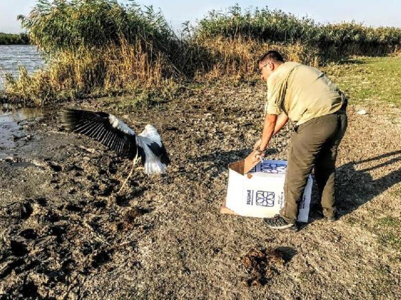 Bitkin halde bulunan leylek, beslenerek doğaya salındı