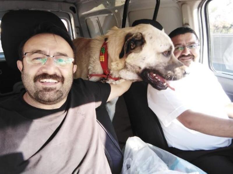 Kangal cinsi Paşa'nın en büyük tutkusu araba ile gezmek