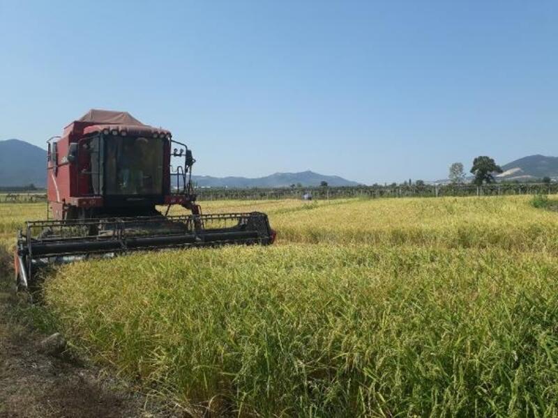 Orhangazi'de çeltik hasadı başladı
