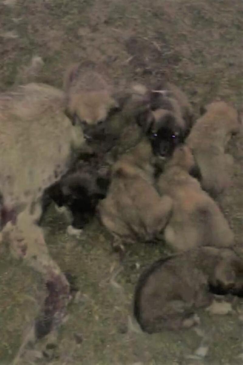 Ölen annelerinin başında duran yavru köpekler barınağa götürüldü