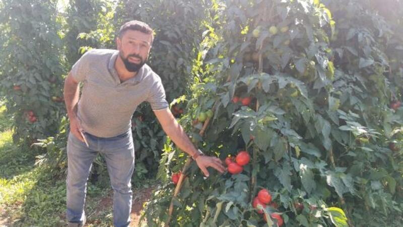 Altın domates, üreticisini üzdü
