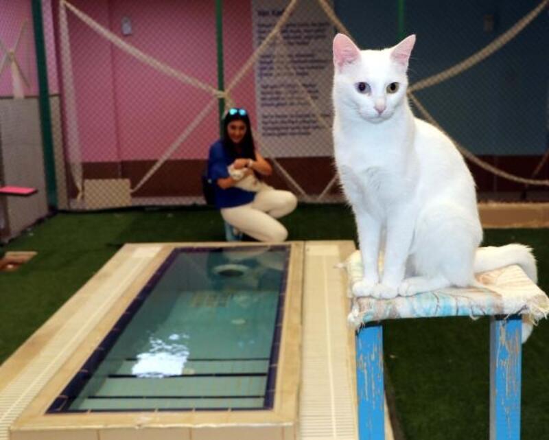 Van kedileri için havuz sezonu kapanıyor