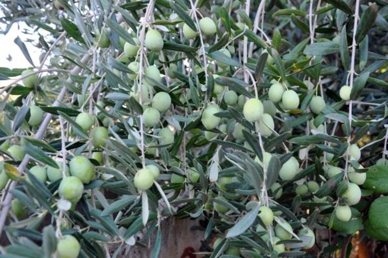 Gazipaşa'da zeytin hasadı ve yağ sıkım dönemi başladı