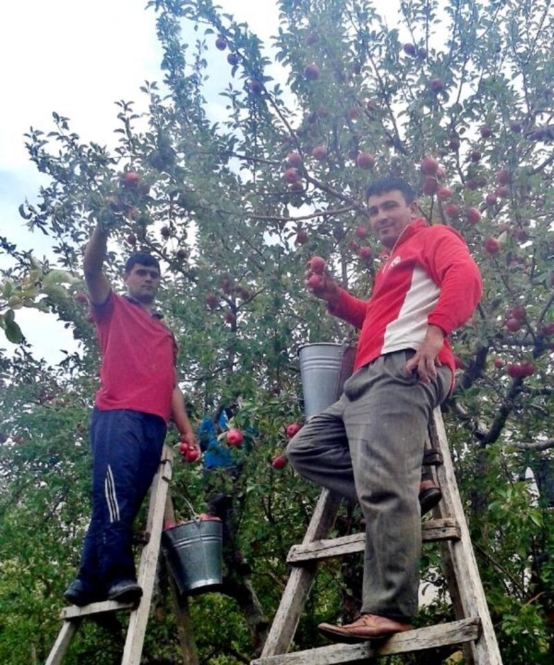 Çamardı ilçesi ve köylerinde elma hasadı başladı