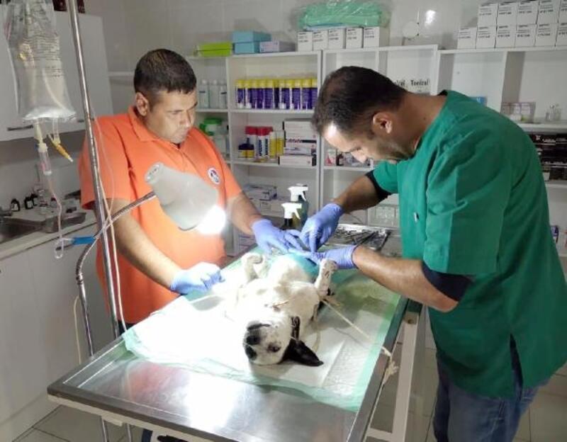 Şarköy'de sokak köpekleri kısırlaştırılıyor