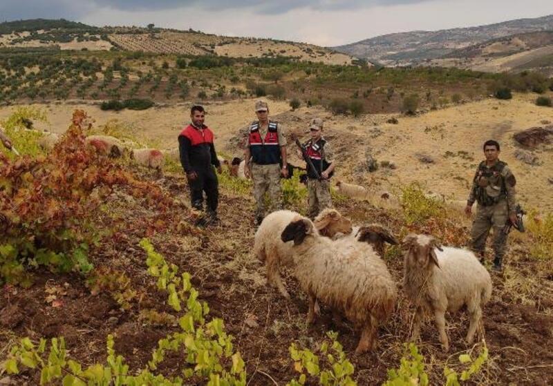 Kilis'te kayıp olan 8 küçükbaş jandarma tarafından bulundu