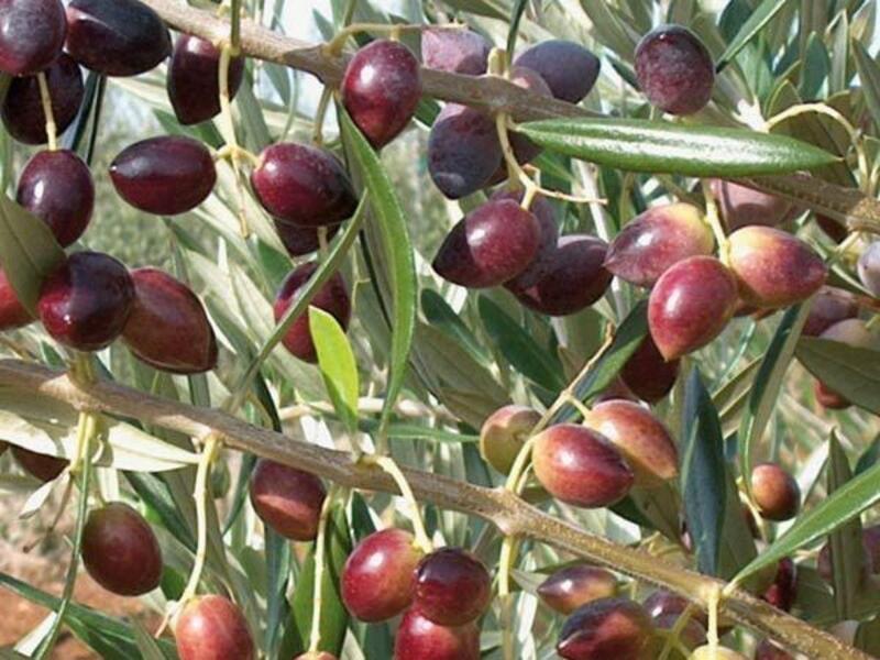 Marmarabirlik Orhangazi'de zeytin alımına başladı