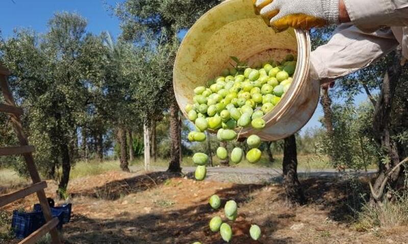 Türkiye'nin en büyük zeytin bahçesinde hasat başladı