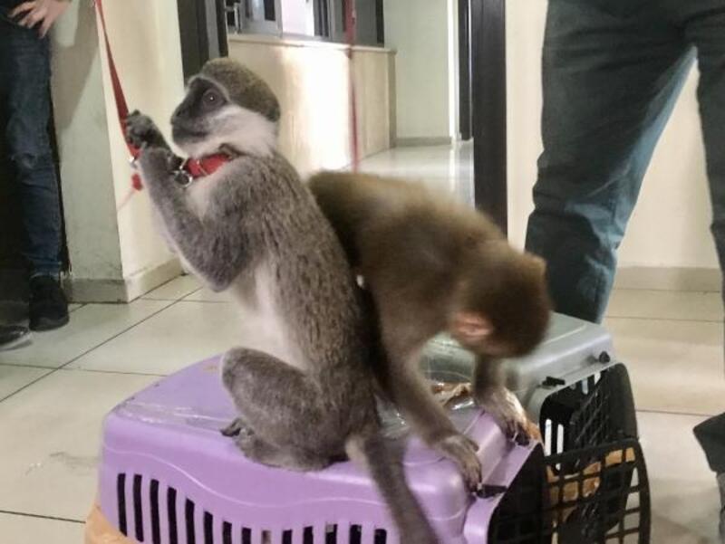 Sosyal medya üzerinden 2 maymun satmaya çalışan şüpheli yakalandı