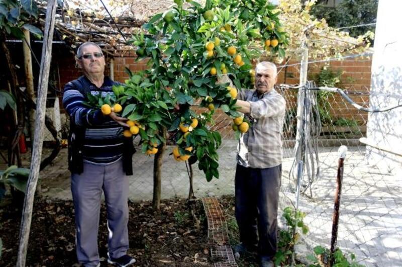 Yenişehir'de bir vatandaş evinin bahçesinde mandalina yetiştirdi