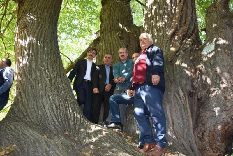 810 yıllık kestane ağacından hasat