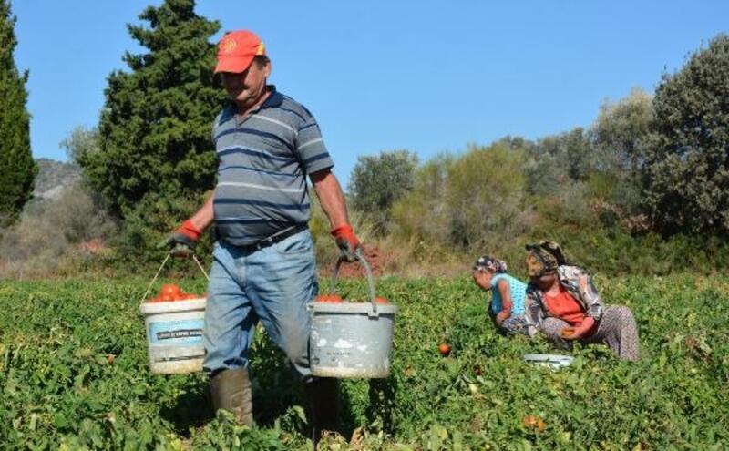Datça'da güz domatesi üreticisi ilk kez bu yıl zarar etti