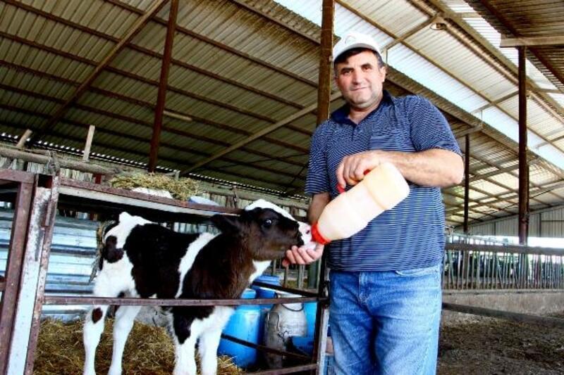 Etçil buzağılara 600 lira destek kararı hayvan yetiştiricilerini sevindirdi