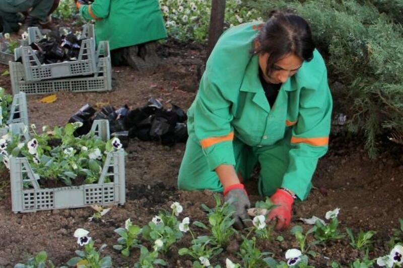 Çankaya'nın parklarına 370 bin kışlık çiçek