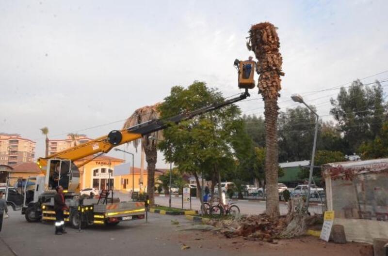 Tarsus'ta kırmızı palmiye böceği ile mücadele artıyor