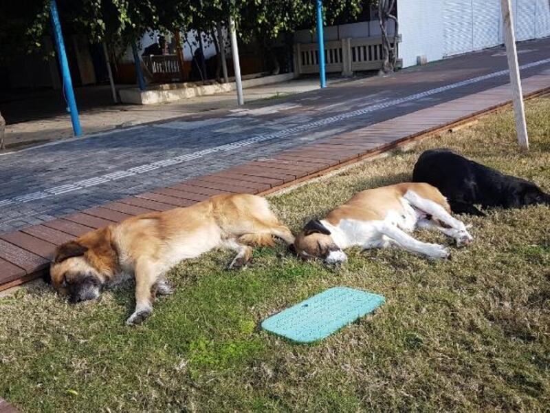Köpeklerin güneş keyfi