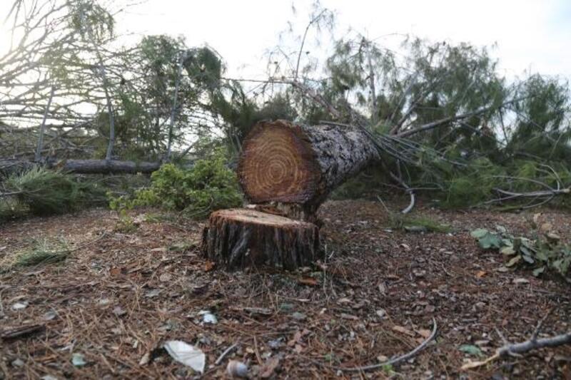 OBM: Kesilen ağaçların yerine yenileri dikilecek