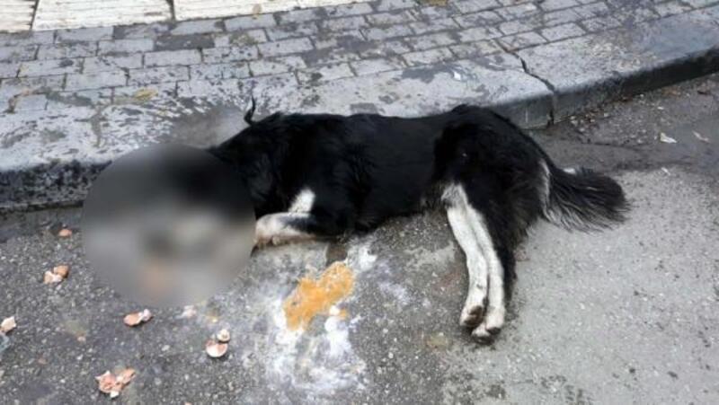 Ankara'da20 sokak hayvanının zehirlenerek öldürülmesine tepki