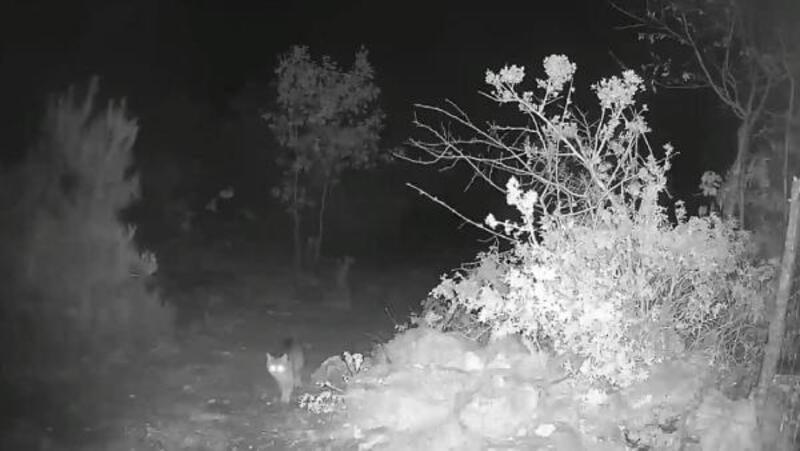 Tokat'ta yaban kedisi fotokapanla görüntülendi