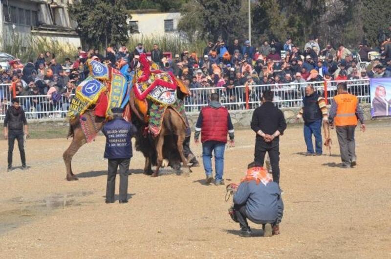 Nazilli'de deve güreşi heyecanı