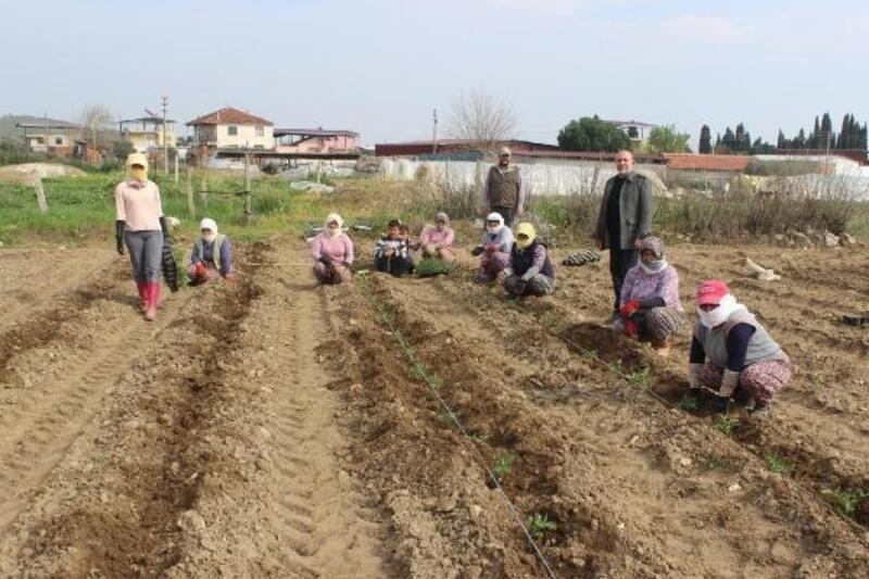 Salihli'nin yerli domatesinin fideleri dikiliyor