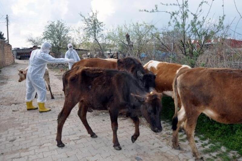 Derik'te 60 bin hayvana aşı yapılacak