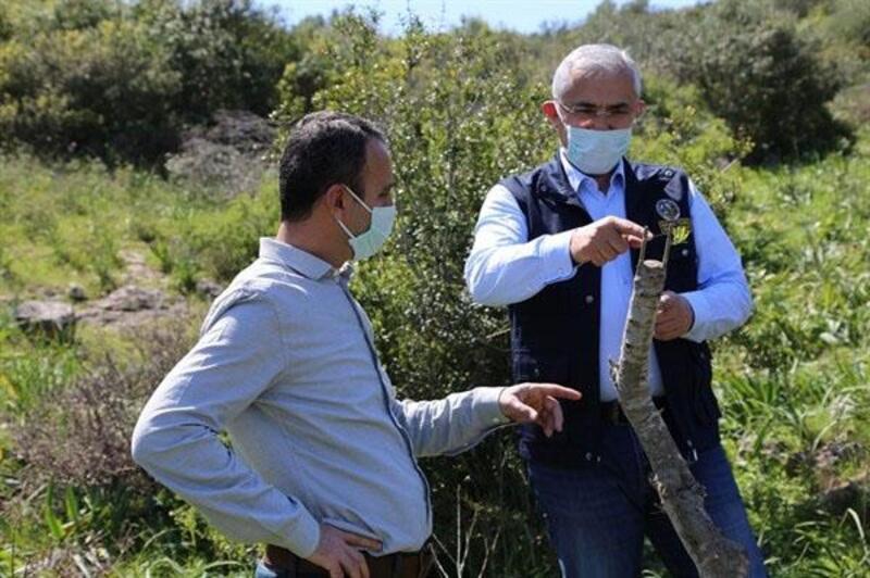Adana'da yabani zeytin aşı çalışmaları devam ediyor