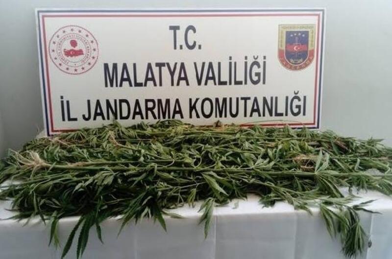 Malatya'da bin 500 kök kenevir ele geçirildi