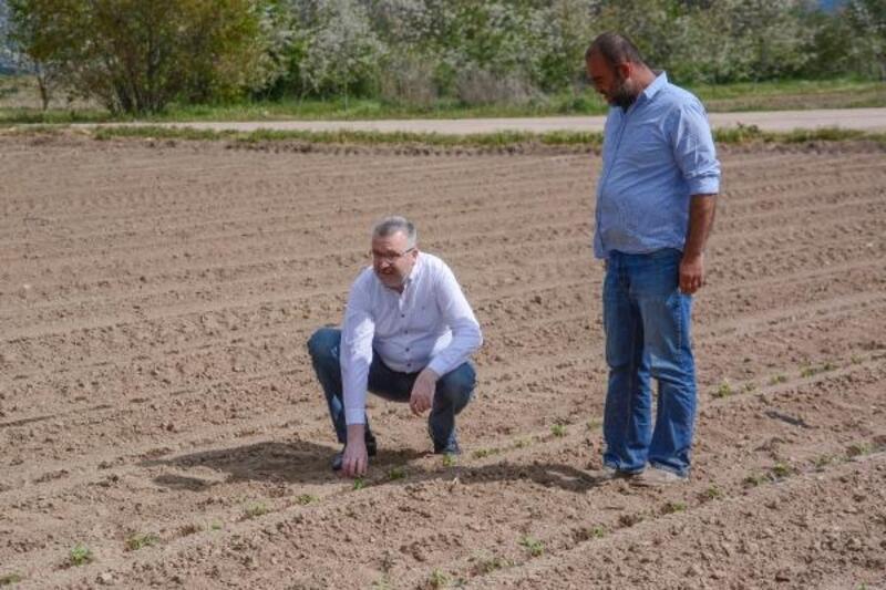 Karacabey'de yılın ilk domates ekimi başladı