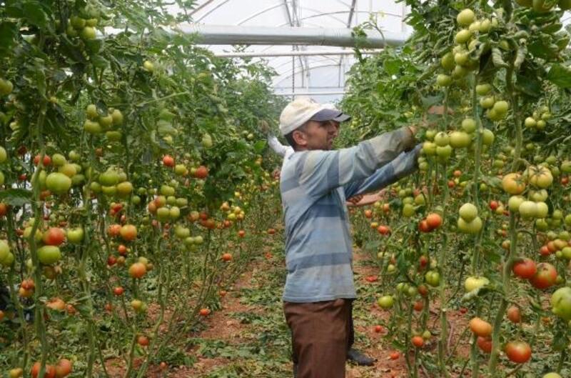 Serik'te domates üretimi sürüyor