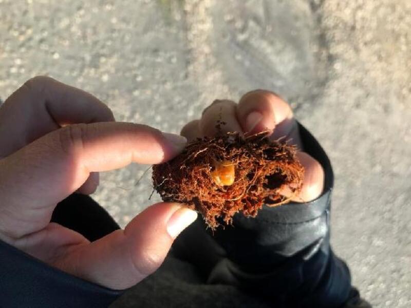Palmiye katili böcekle mücadele