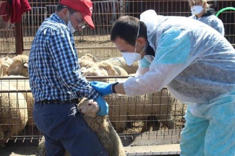 Kırklareli'nde küçükbaş hayvanlara brucella aşısı yapıldı