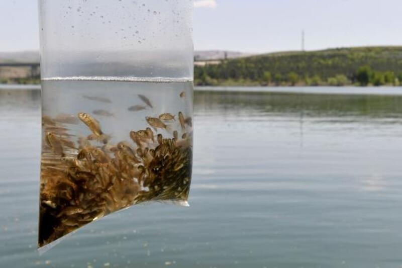 14 bin sazan yavrusu suya bırakıldı